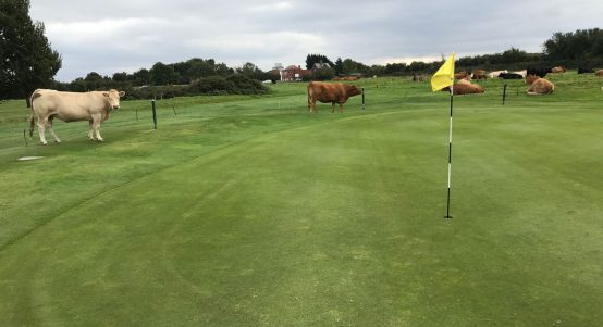 Beverley GC cows
