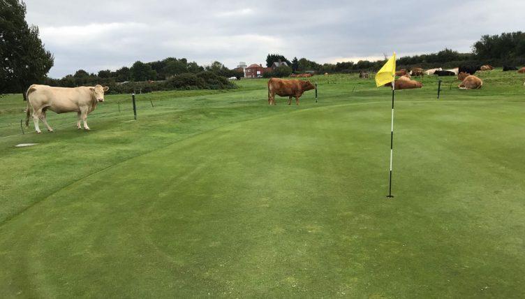 Beverley GC cows